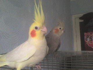 Попугайчики Глаша и Кеша.