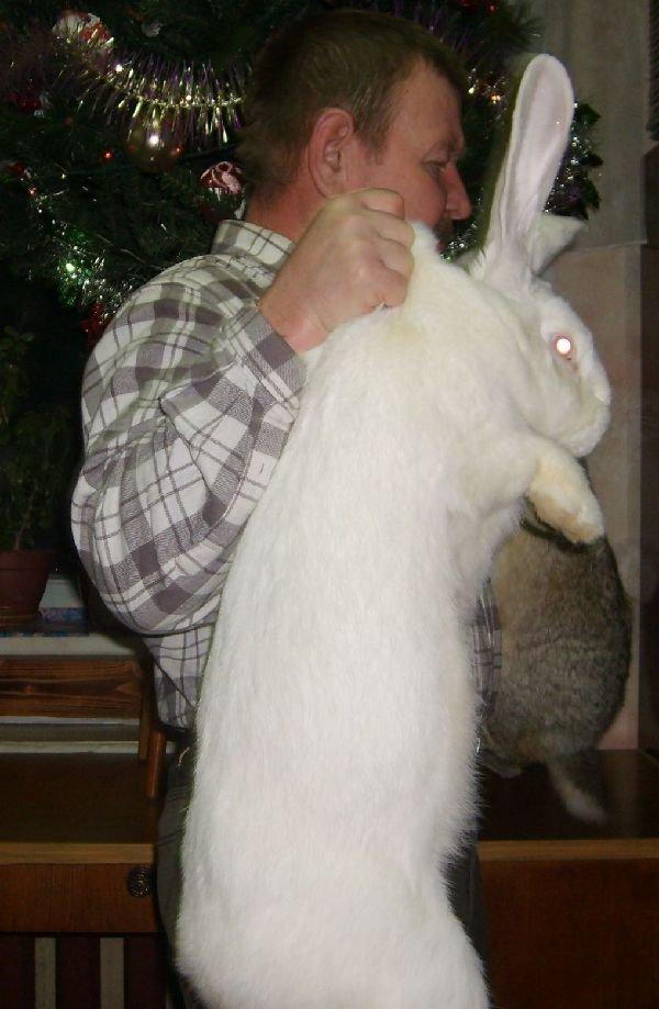кролики Ризен, Фландр