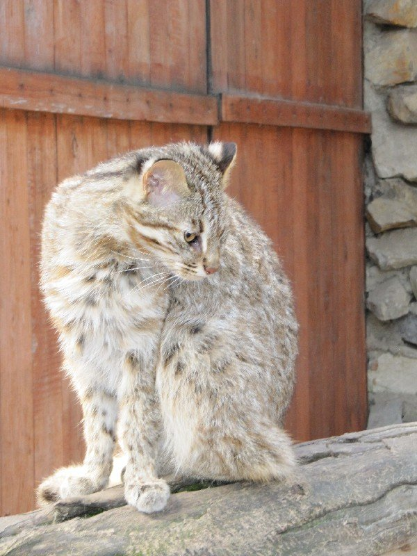 Кот Дальневосточный - занесен в Красную книгу. Новосибирский зоопарк.