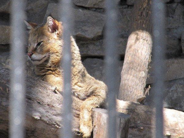 Кот камышовый. отряд хищные, семейство кошачьи, распространен в Передней, Средней и Южной Азии, занесен в Красную книгу. Живет вблизи водоемов. Новосибирский зоопарк.