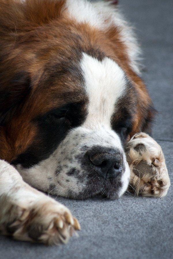 Сенбернарчик на выставке собак. Устал, рашил поспать