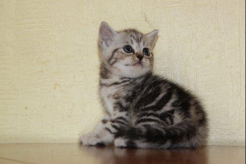 Котик, маленький принц! серебристо-черный мрамор