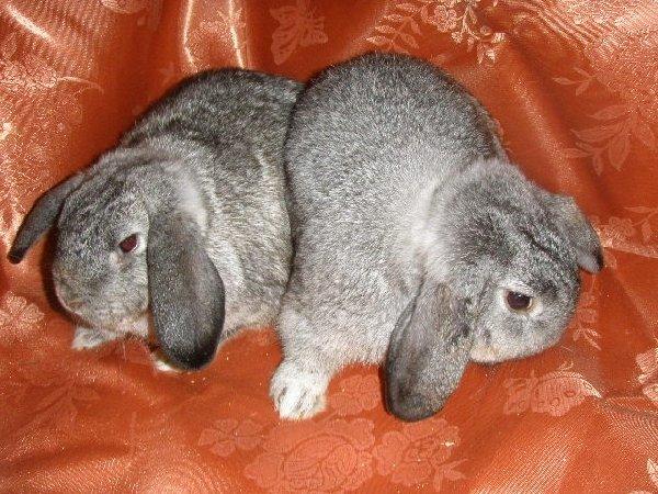 Породы карликовых кроликов
