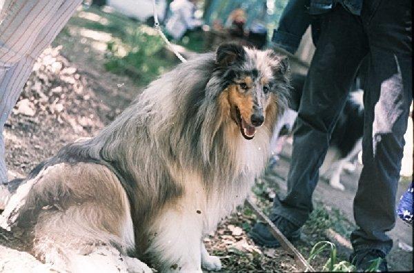 выставка собак в Ташкенте апрель 1995год. голубая колли.