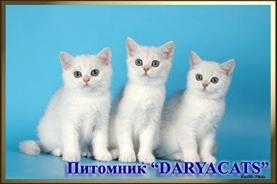 Питомник Daryacats рег.WCF 070015.77 предлагает британских плюшевых и шотландских вислоухих котят от лучших производителей клуба.  Окрасы:  Голубой,лиловый,  шоколадный,чёрный,  серебристый тебби (вискас),  чёрный мрамор на серебре,  серебристая шиншилла с изумрудными глазами. Котята приучены ко всему.  т. 8- (495)-437-48-55  т.моб. 8-905-580-23-97  т.моб. 8-926-345-91-37  Фото котят на сайте:  http://www.daryacats.narod.ru