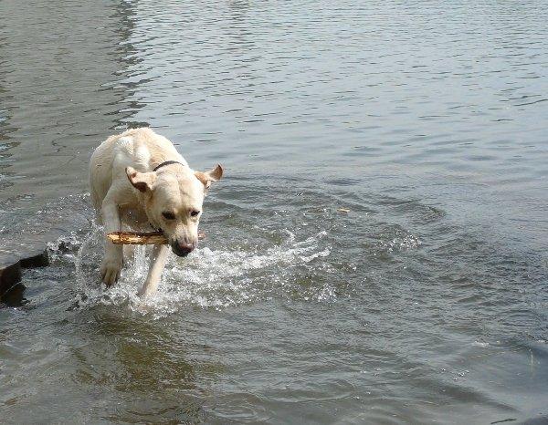 Черюлька бегает по воде