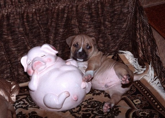Опрокинулся на спинку , я щеночек  а не свинка. Сын  Марлен Брао Иглд и Адель Рейдж Харди Тайш .