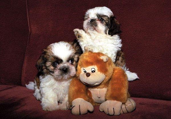 Ну чем вам не игрушки  живые щенки ши тцу?