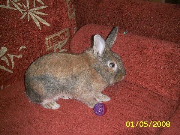 Здесь изображен мой кролик Семочка,он играет со своим любимым мячеком!