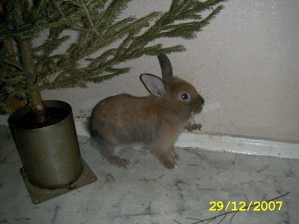 Здесь изображен мой зая,в канун нового 2008 года,когда мы внесли красавицу елку сема подбежал и начал прыгать, принюхиваться! вот один из кадров!:))))