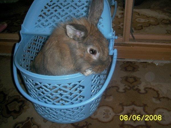 Это мой кролик Семик,он выглядывает из корзинки для перевозки.Уже на следущий день он бегал у нас на даче.