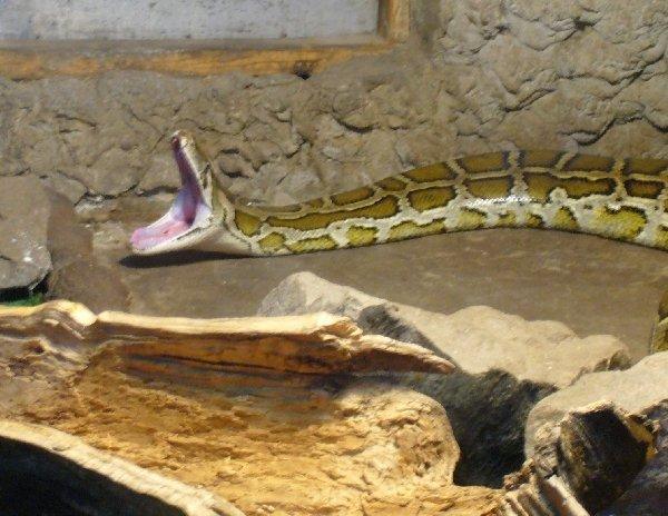 Змея зевает