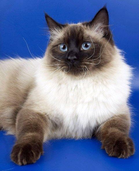 Невские маскарадные кошки - голубоглазые сибиряки!