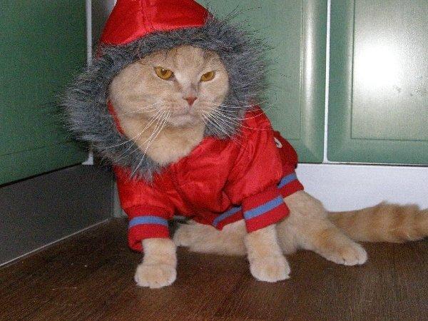 Скоттиш фолд,котейка Атос Золотой Дождь-главное что бы костюмчик сидел..