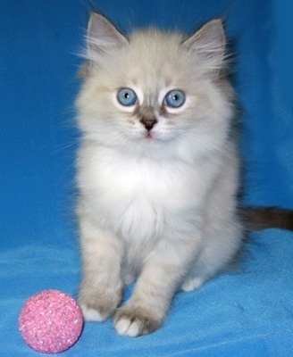 НЕВСКИЕ МАСКАРАДНЫЕ голубоглазые котята из питомника Жемчуг Невы.