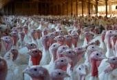 Новости птичьего гриппа. Новое в мире.