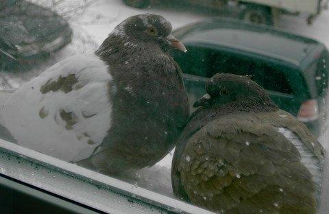 голуби за окном