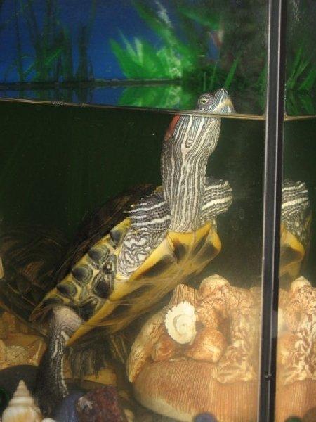 Нет!Вы ошиблись я не перископ, я черепаха!