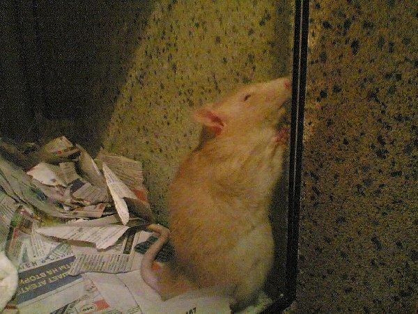 Так она спасается от сасущих ее крысят:)