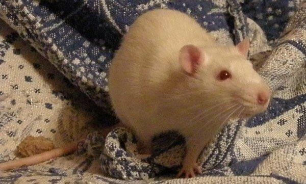 Мой любимый крыс - Кузьма
