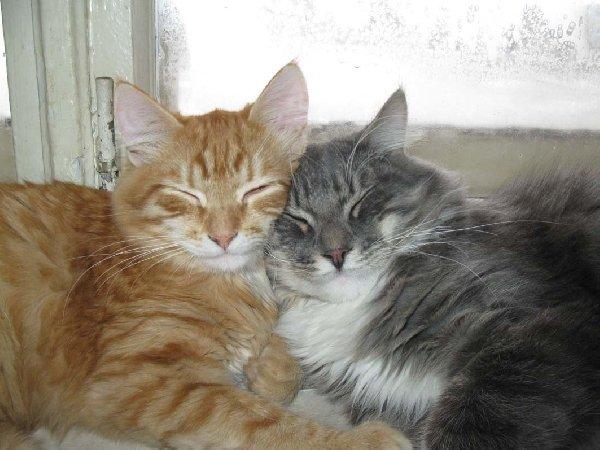 Мои котики - рыжий Люциус и серый Софокл.