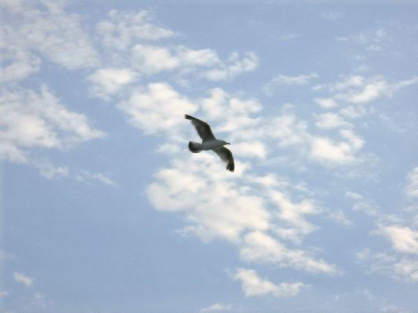 чайки(а) Крыма