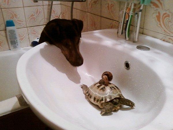 Втроем принимают ванну (моя собака, черепаха и ахатина )