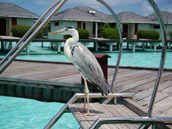 Мальдивская цапля.