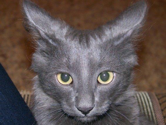 Помогите определить породу моего котика!