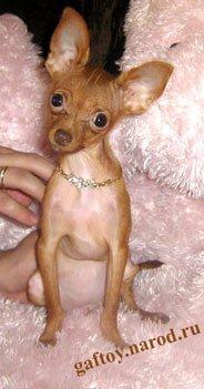 История породы собак русский гладкошерстный той терьер