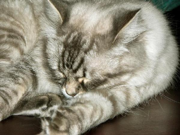 ����� �� ����� ���� :)  ragdoll 1,5 years old sleeping ;)
