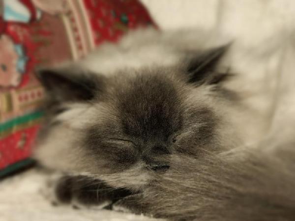 кошка по имени Коша :) ragdoll 1,3 years old sleeping ;)