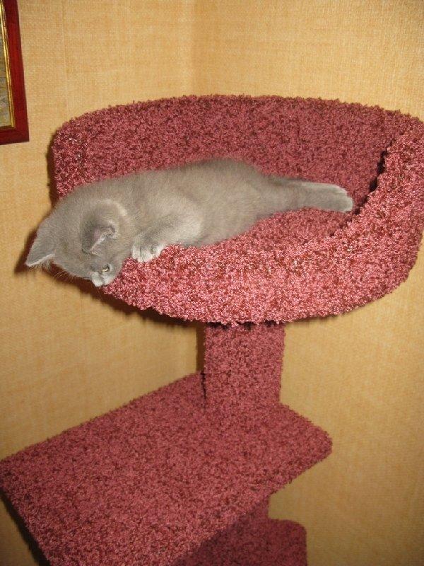 Голубой британский котенок по кличке Thor рад знакомству с Вами! Нам 2,5 месяца.