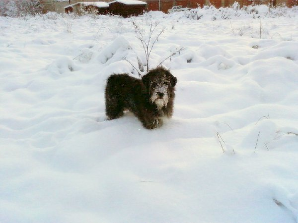 Снежный пес