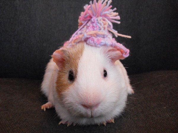 Мой любимый морской свин Малышок!!Пожалуйста,проголосуйте за него,мы так хотим победить..