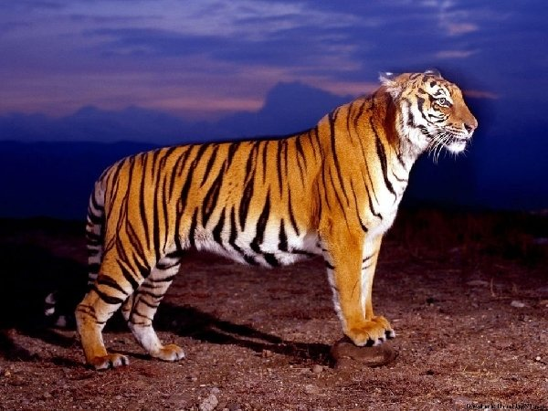Амурский тигр на закате