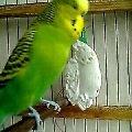 Митюха (волнистый попугайчик)