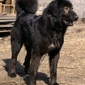 """Это монгольская овчарка-банхар АСАР,   сын БАРО и ВОЛЧИЦЫ,   один из самых красивых кобелей нашего питомника \""""Монголдог\""""."""
