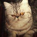 Это моя любимая кошечка. Её зовут Груня. Порода смешанная: британская с персидской.