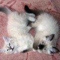 Невские маскарадные котята из питомника Жемчуг Невы