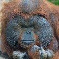 Портрет орангутана<br /> Снято в Московском зоопарке