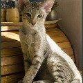 Котенок ориентал по кличке Шер-Хан 3-х месяцев от роду уже вполне оправдал данное ему имя.