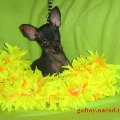 ������� ��� ������ ����,   russkiy toy-terier puppy,   ���-������ ����,   ��� ���� http://www.gaftoy.narod.ru