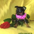 ������� ���-������ ����,   russkiy toy-terier puppy,   ���-������ ���� �����,   ��� ���� http://www.gaftoy.narod.ru