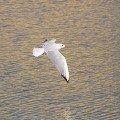 Озёрная чайка в полёте