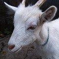 милейшее создание...коза  ...