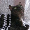 """В дар ласковая кошка Мулька редкого окраса \""""черный дым\""""<br /> <br /> Пол-кошка <br /> Кличка-Мулька <br /> Возраст- около 3-4 лет <br /> Порода-метис <br /> Здоровье-здорова,   привита,   паспорт,   стерилизована <br /> Мини-описание: Миниатюрная,   очень чистоплотная,   ласковая и уютная молодая киса редкого окраса \""""черный дым\""""с белым галстучком на груди <br /> пристраивается единственной любимицей в дом.<br /> <br /> <br /> Лена<br /> г. Москва<br /> Москва<br /> тел.: 8-926-503-69-54<br /> e-mail: elena0777@rambler.ru <br /> фторабота Филантроп"""