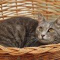 В дар ухоженный крупный котик серебристого окраса,  очень хорошо ладит с людьми<br /> <br /> Пол - Кот Кличка – Грей <br /> Порода – короткошерстный метис <br /> возраст- 2 года <br /> Здоровье - здоров,   привит Мультифелом,   кастрирован. <br /> Мини-описание: хоженный короткошерстный крупный котик серебристого окраса,   с красивыми умными глазами. Грей очень хорошо ладит с людьми,   понимает их,   спокойный по характеру. С лотком нет проблем<br /> <br /> <br /> Лена<br /> г. Москва<br /> Москва<br /> тел.: 8-926-503-69-54<br /> e-mail: elena0777@rambler.ru <br /> фторабота Филантроп