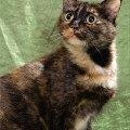 В дар ласковая кошка-красавица Веснушка<br /> <br /> Пол-кошка <br /> Кличка - Веснушка <br /> Возраст - 2 года <br /> Порода - метис <br /> Здоровье – здорова,   привита,   стерилизована <br /> Мини-описание: красивая крупная кошечка яркого черепахового окраса,   с плюшевой густой шерсткой и выразительными глазами. Очень ласковая и контактная,   любит ласкаться и общаться с человеком. Спокойная и аккуратная,   с отличным аппетитом. Приучена к лотку.<br /> <br /> <br /> Лена<br /> г. Москва<br /> тел.: 8-926-503-69-54<br /> e-mail: elena0777@rambler.ru <br /> <br /> фоторабота Филантроп