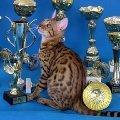 """Чистокровные бенгальские котята. Лучшие линии Канады и Германии. Питомник бенгальских кошек \""""LuxuryCat\"""" www.luxurycat.com.ua<br /> <br /> <br />"""